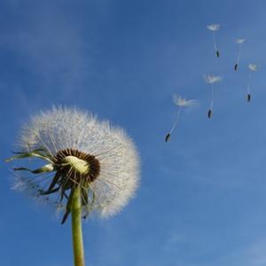 dandelion-sky-flower-nature-39669.png